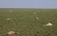 Preocupación científica: Mueren 60.000 antílopes en 4 días por algo desconocido