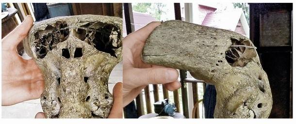 Vista lateral de uno de los cráneos encontrados. Al verlo solo podemos pensar: ¿qué extraña criatura pudo haber existido?