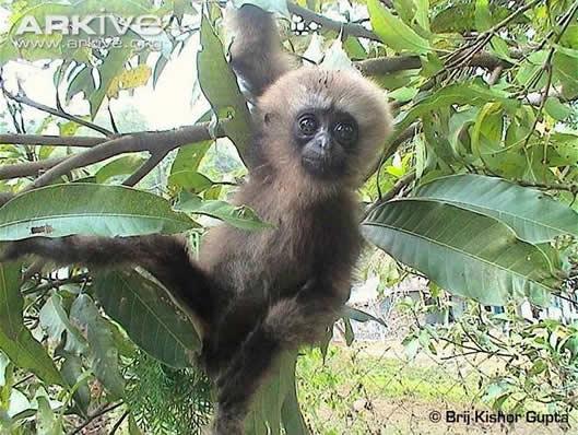 Gibbon de Hoolock