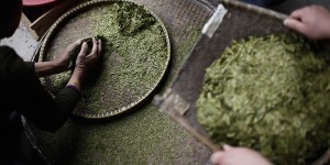 Descubren el té más antiguo del mundo en la tumba de un emperador de China