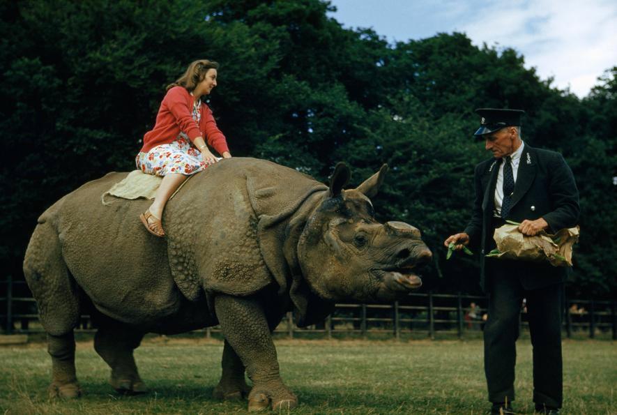 En un zoológico de Londres, en la década de 1950, un empleado del zoológico alimenta con guisantes a un rinoceronte que carbgaba a una mujer en la espalda. Crédito de foto: B.A. Stewart y David S. Boyer, National Geographic Creative