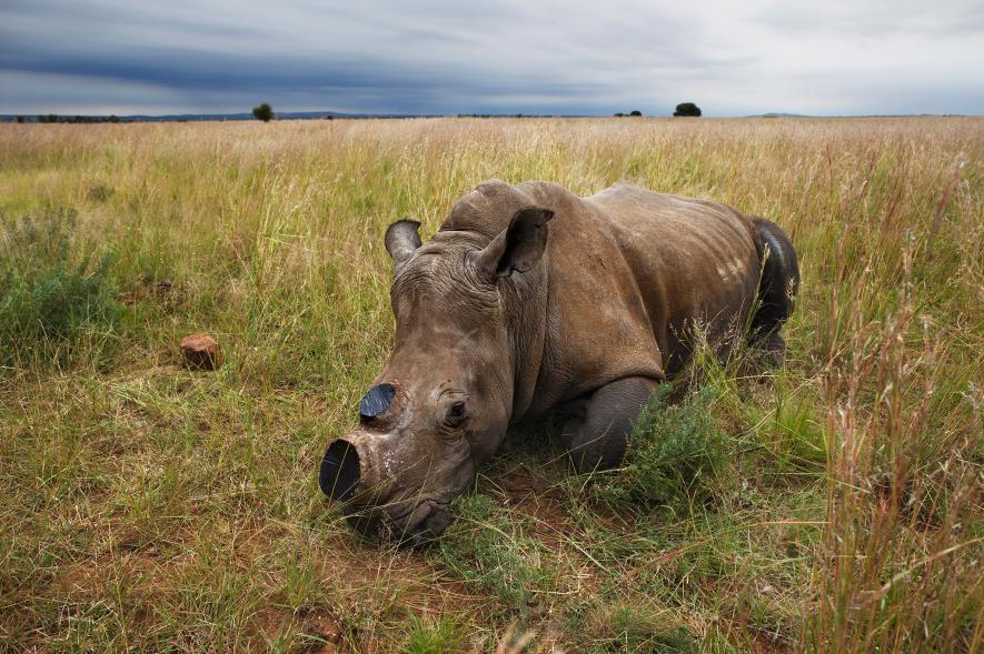 Un rinoceronte blanco anestesiado, al que se tuvo que cortar los cuernos para disuadir a los cazadores, descansa en Klerksdorp, Sudáfrica. Crédito de foto: Brent Stirton, Reportage for WWF / National Geographic