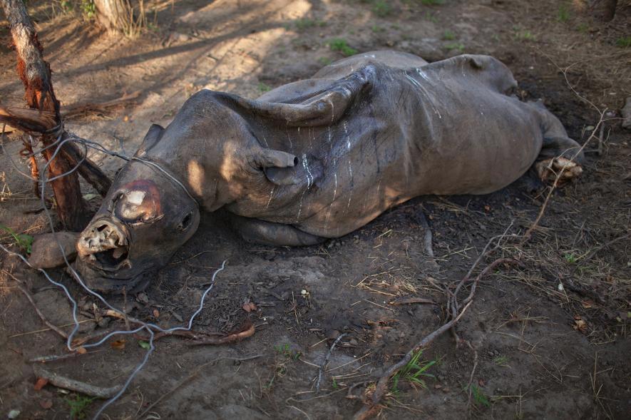 Un rinoceronte en descomposición con los cuernos cortados. Fue estrangulado por una trampa de alambre de un cazador furtivo en Sudáfrica. Crédito de foto: Brent Stirton, Reportage for WWF / National Geographic