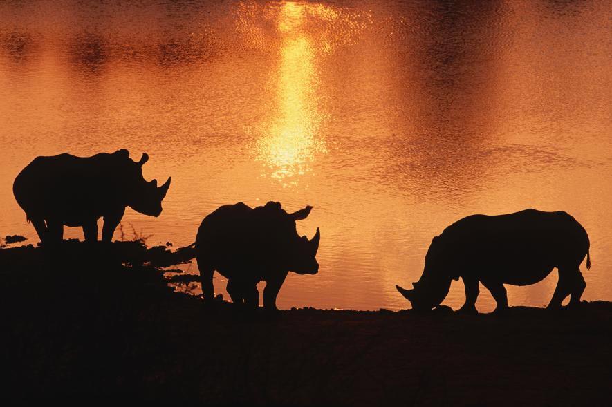 Rinocerontes blancos se perfilan bajo el sol en una reserva privada en Tanzania Tshukudu. Son una gran atracción para los turistas que viajan a observar la vida silvestre de África. Crédito de foto: Brent Stirton, Reportage for WWF / National Geographic