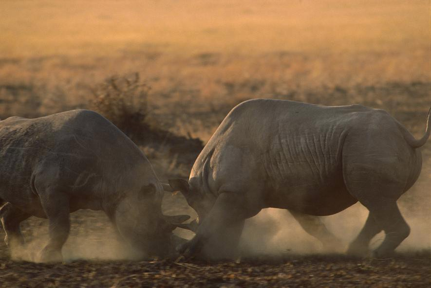 Rinocerontes negros pelean en la reserva de Masai Mara, en 2008. En los últimos años, Kenia ha perdido decenas de rinocerontes por la caza furtiva. Crédito de foto: Gerry Ellis, Minden Pictures