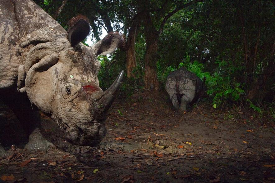 Un rinoceronte de un cuerno sigue a su compañero en el Parque Nacional de Kaziranga, en India, en 2007. Crédito de foto: Steve Winter, National Geographic Creative