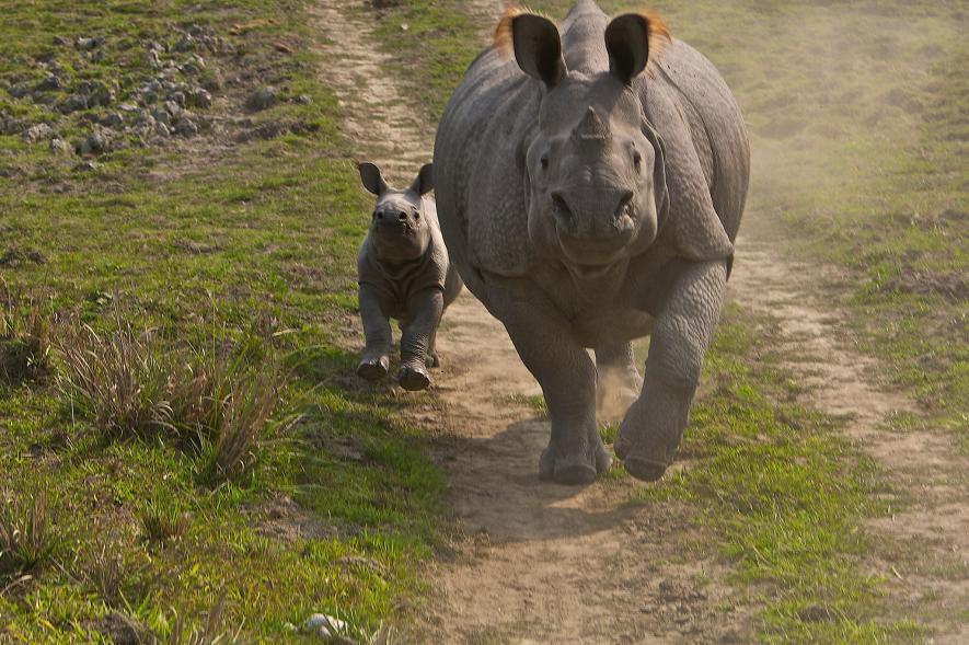 Un rinoceronte de un cuerno y su cría corren a lo largo de un sendero en el Parque Nacional de Kaziranga, India, en 2008. Crédito de foto: Steve Winter, National Geographic Creative