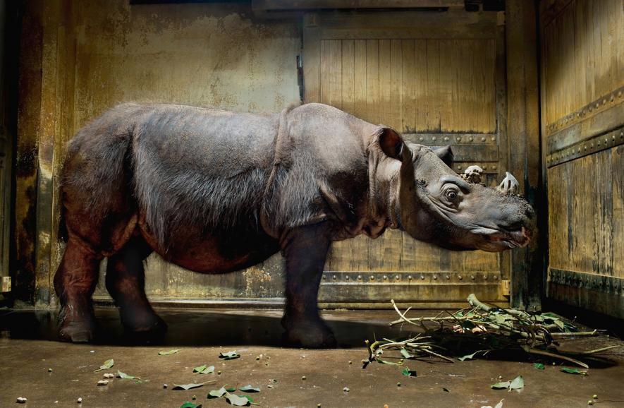 Un rinoceronte de Sumatra descansa en un zoológico de Ohio. Esta especie en peligro ha disminuido en número en más de un 80 por ciento debido a la caza furtiva. Crédito de foto: Robert Clark, Naitonal Geographic Creative