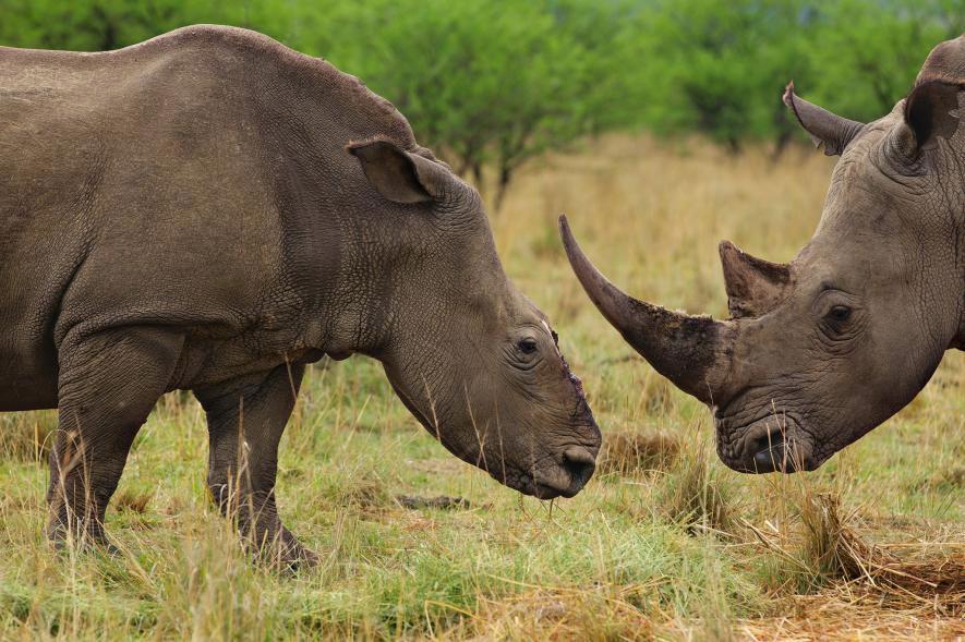 Algunos rinocerontes, como estos en Sudáfrica, sobreviven a ataques por la caza furtiva.