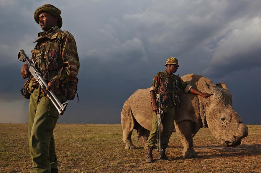 Sin cuerno, un manso rinoceronte blanco del norte -una de las siete de las subespecies conocidas- es resguardado por los guardabosques del Ol Pejeta Conservancy de Kenia. Crédito de foto: Brent Stirton, Reportage for WWF / National Geographic