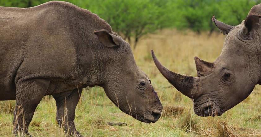 Rinoceronte: Fotografías de una especie próxima a extinguirse
