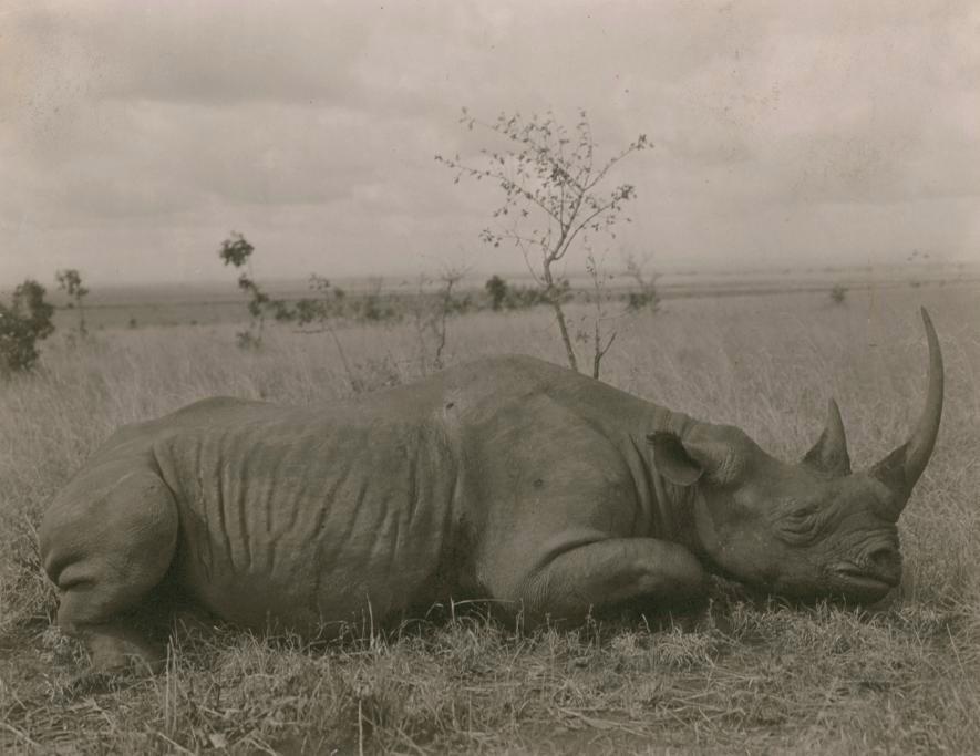 Una foto de un artículo de National Geographic de 1909, muestra a un rinoceronte abatido por cazadores en Kenia. Crédito de foto: Carl E. Akeley, National Geographic Creative
