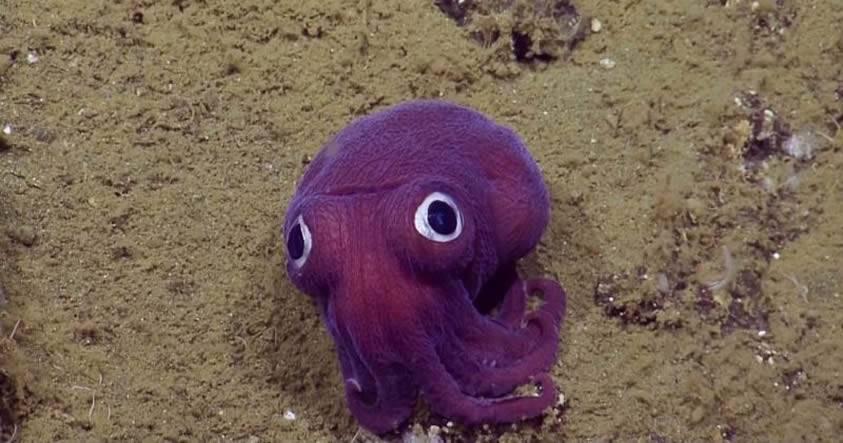 El peluche del océano (Awww): Científicos marinos se topan con un lindo calamar de ojos saltones