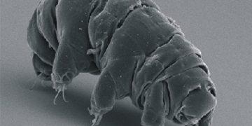 Descubren por qué los tardígrados son prácticamente inmortales