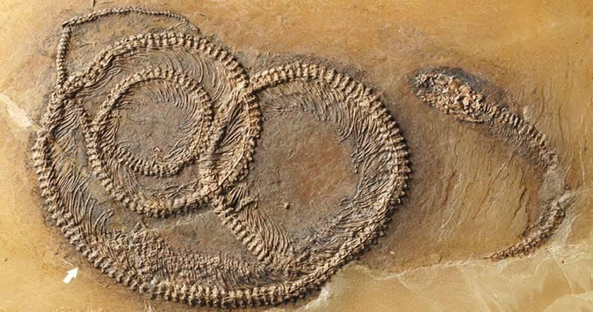 Fósil de 48 millones de años muestra un insecto dentro de un lagarto dentro de una serpiente
