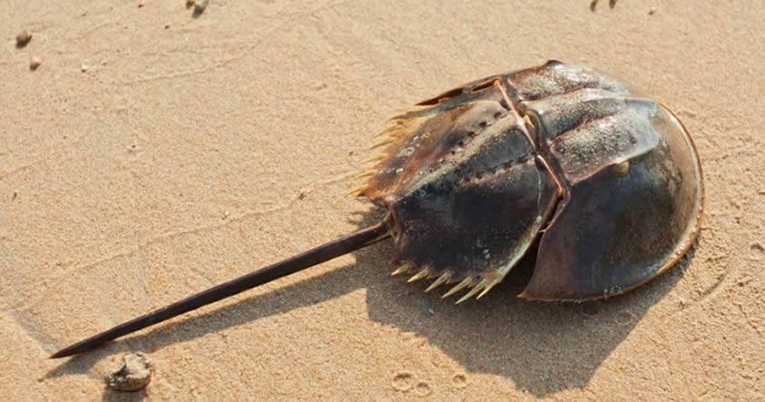 Este cangrejo sobreviviente a 5 extinciones está a punto de desaparecer