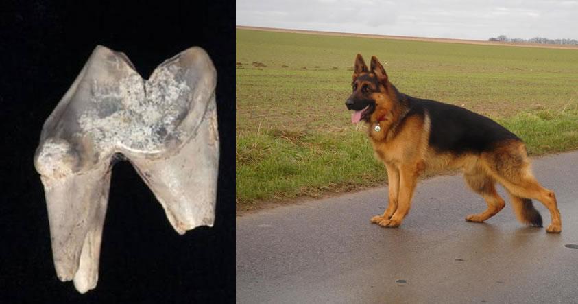 El can, posiblemente un Pastor Alemán, vivió hace 7.000 años, 2.000 años antes de que Stonehenge fuese construido.
