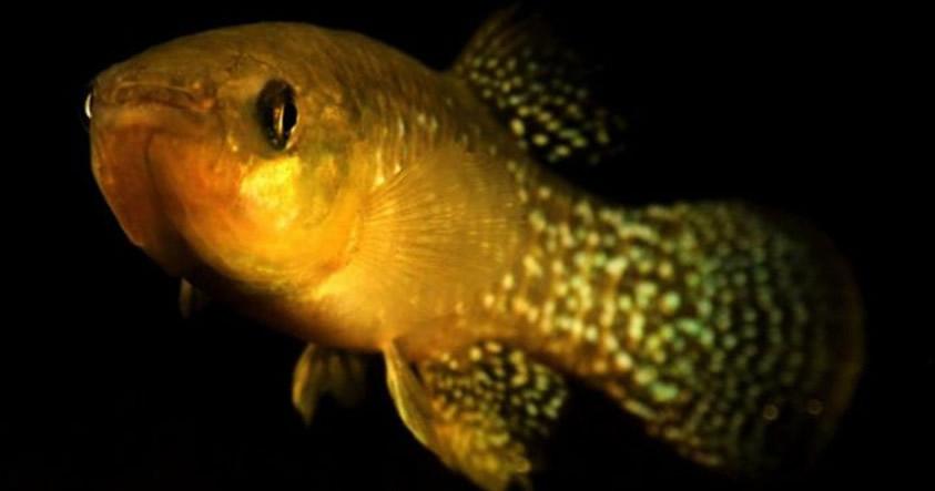Este pez se ha vuelto 8.000 veces más resistente a los residuos tóxicos