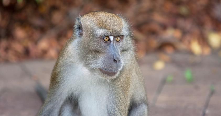 Las gargantas y bocas de los monos están equipadas para hablar, ¿cómo sonarían?