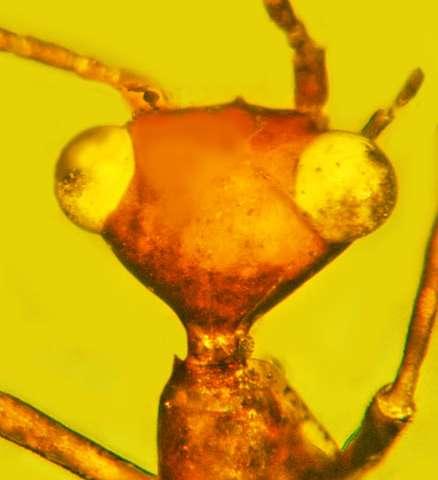 Este extraño espécimen similar a un «alienígena» atrapado en ámbar, representa un nuevo orden de insectos