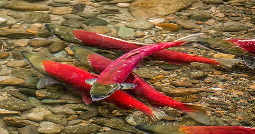 Fukushima: Investigadores encuentran rastros de radiación en salmones en Canadá