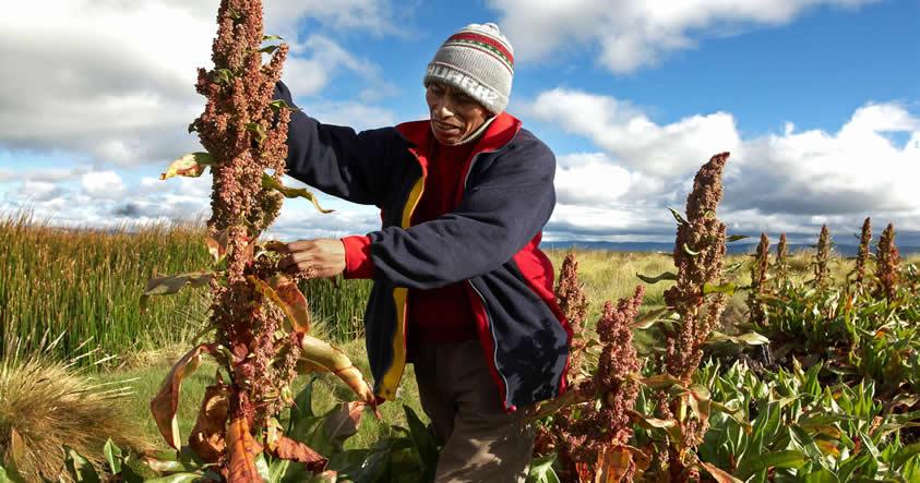 Científicos logran descifrar el genoma de la Quinua, algo que podría ayudar a combatir el hambre