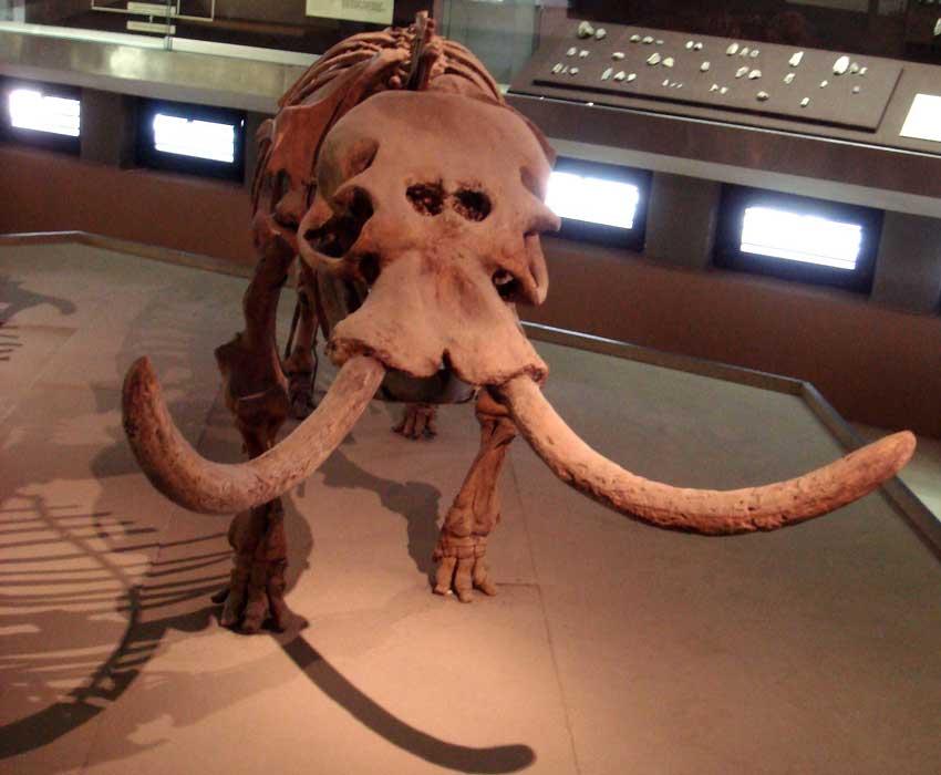 Elefante enano con grandes cavidades nasales. Museo Arqueológico Regional Paolo Orsi, Siracusa, Italia.