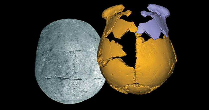 Fragmentos de fósiles (amarillo) se juntaron con las piezas de la imagen en púrpura para visualizar el cráneo de un humano arcaico que vivía en el este de China.