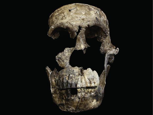 El cráneo de «Neo», un fósil muy completo de la nueva especie.