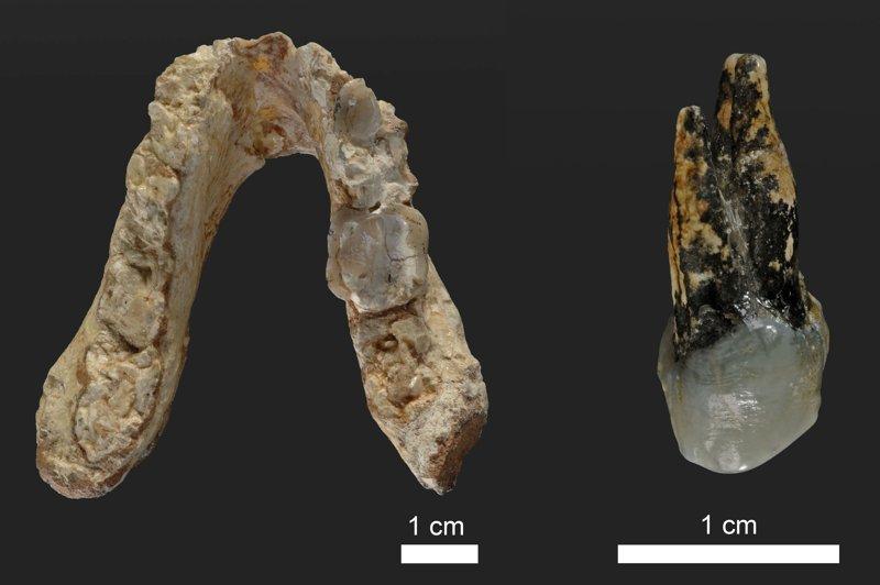 Mandíbula fosilizada (l) y premolar de Graecopithecus.