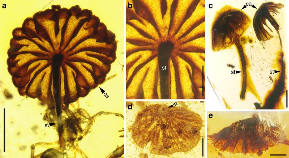 Hongos fosilizados en ámbar.
