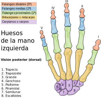 Figura 1: Huesos de la mano izquierda. Fuente: Wikipedia