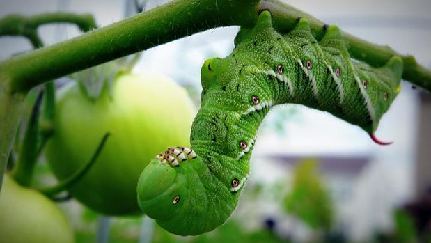 Una oruga en una planta de tomate.