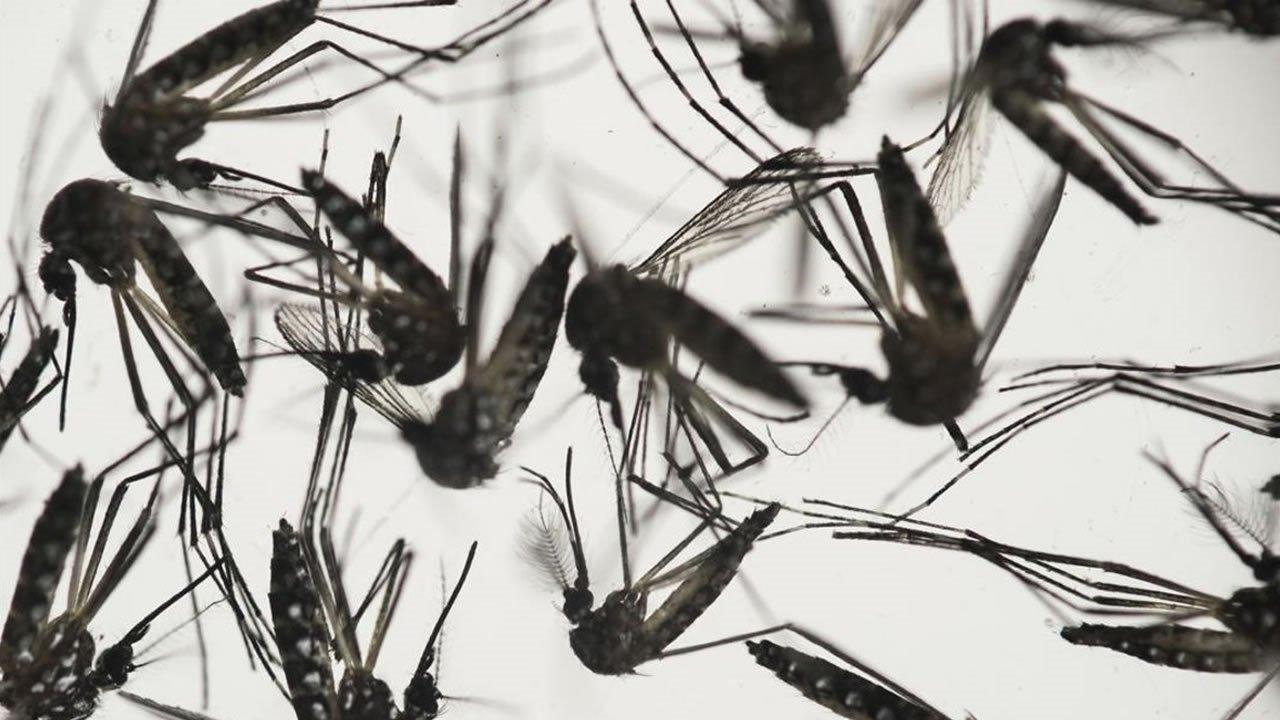 Lanzarán 20 millones de mosquitos modificados para tratar de detener el virus del Zika