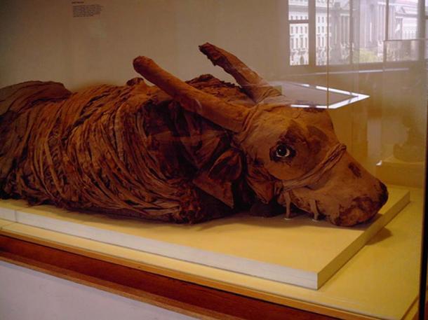 Toro momificado en el Museo Nacional de Historia Natural