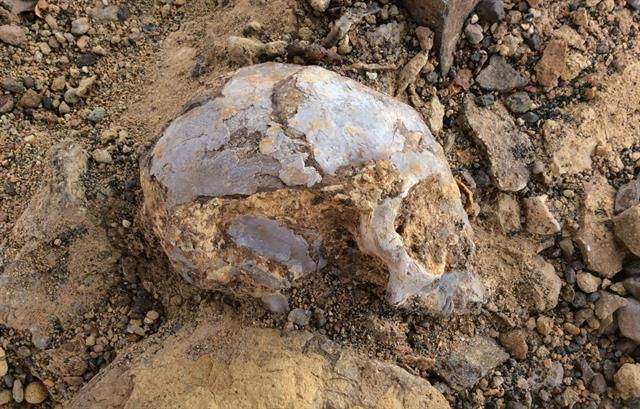 El cráneo, como se encontró en la cuenca de Turkana
