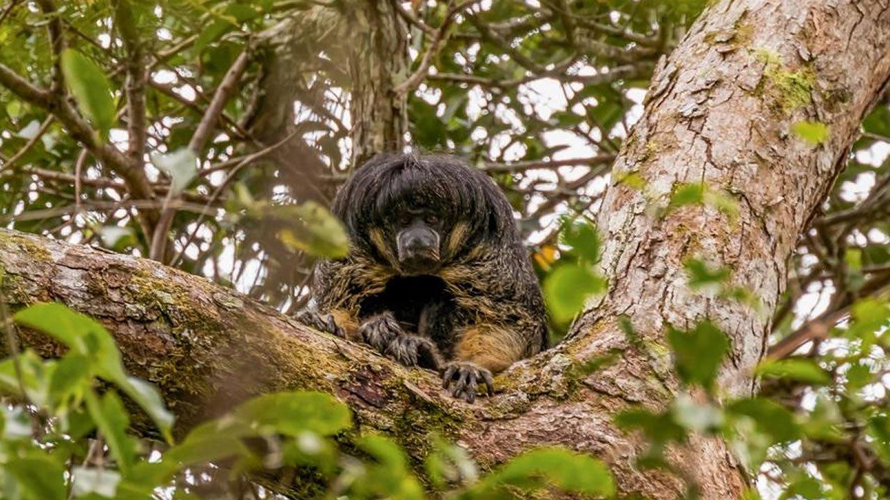 Fotografían luego de 80 años a un primate del Amazonas que se creía «perdido»