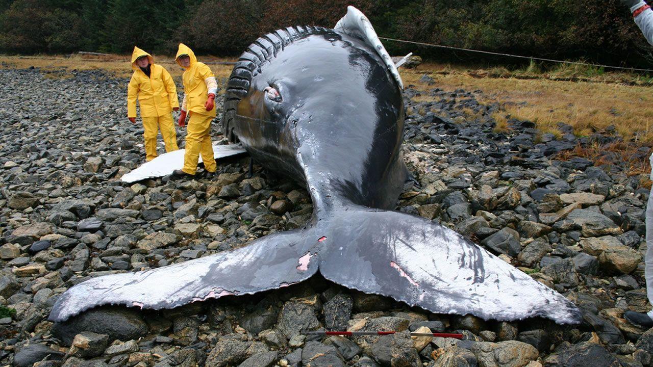¿Ballenas varadas en las playas a causa de las tormentas solares?