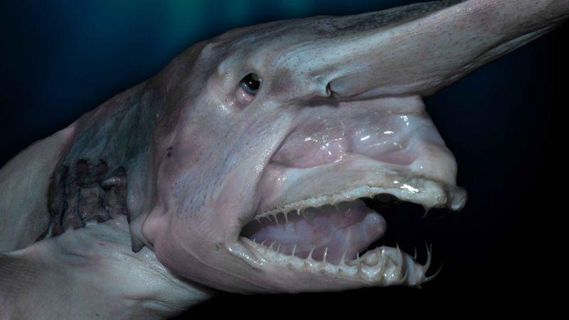 Incluso las aguas profundas de la Tierra están habitadas por seres, que parecen extraterrestres. Aquí: un raro tiburón duende