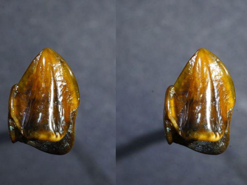 Hallazgos fósiles: canino superior izquierdo de una especie de mono humano