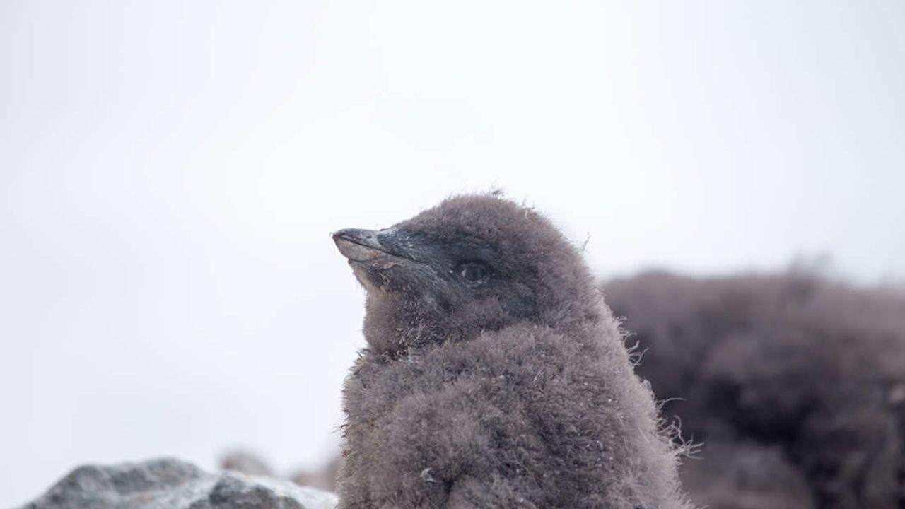 De una colonia de 40.000 pingüinos reproductores, solo dos polluelos sobrevivieron este año