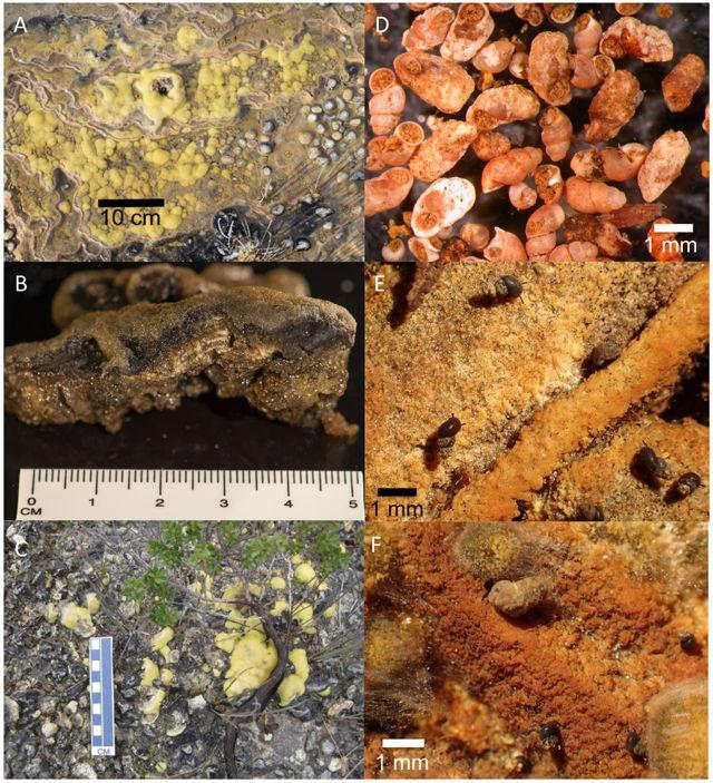 Estromatolitos y macroinvertebrados del Río Giblin: estromatlitos en posición de crecimiento ( A, C ); muestra seccionada con laminaciones de calcita ( B ), conchas de caracoles muertos y calcificados de laderas del montículo ( D ) y caracoles de pastoreo vivo ( Austropyrgus pisinnus .) con incrustaciones de Ca ligera ( E ) y pesada ( F )