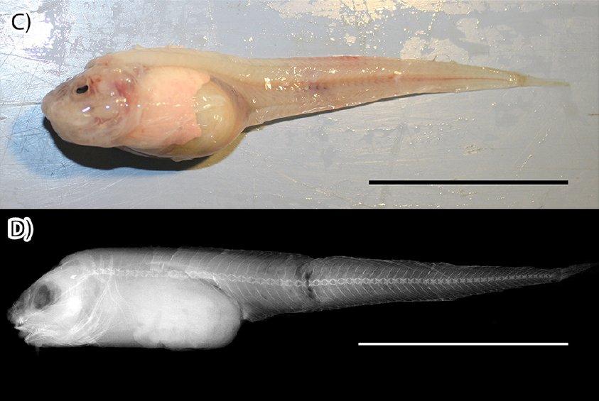 Nueva especie identificada en mar profundo
