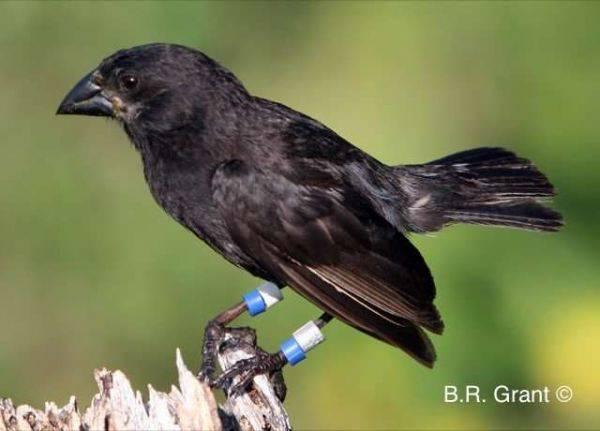 «Big Bird»