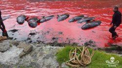 Más de mil doscientos ballenas y delfines murieron en cacería en Islas Feroe este año