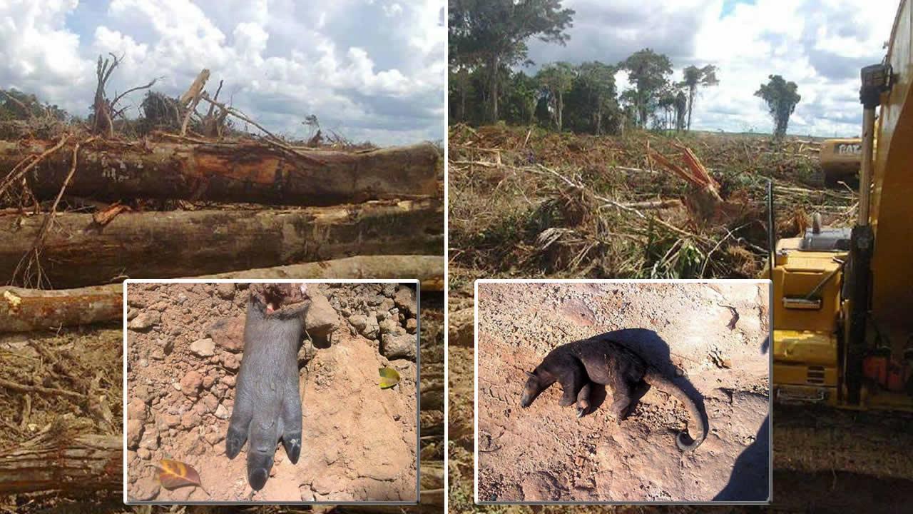 Devastación de tierras de la amazonía peruana, convertidos en plantaciones de aceite de palma