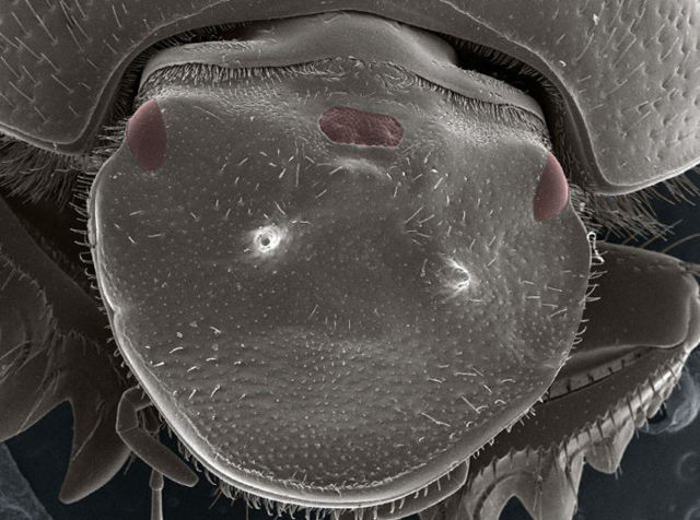 Escarabajo genéticamente modificado, con un tercer ojo