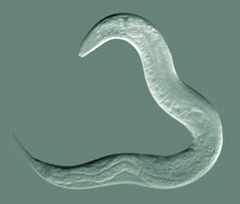 Los científicos han analizado casi a la totalidad las células de los gusanos nemátodos. Como dicen: «sabemos casi todo de ellos».