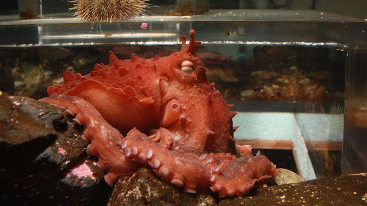 Científicos descubren nueva especie de pulpo gigante