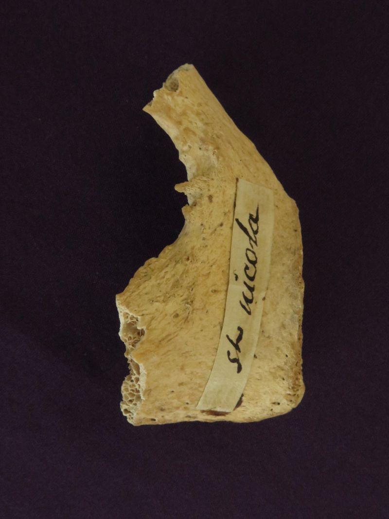 Reliquia de San Nicolás (fragmento de pelvis)